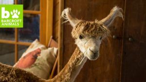 Tiny House Alpaca si myslí, že je člověk: BEAST BUDDIES